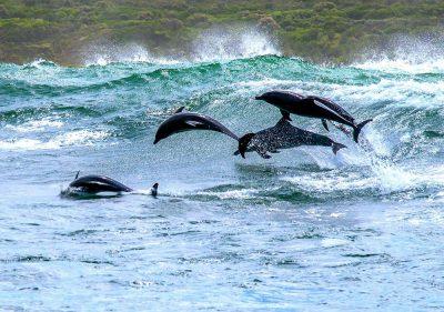 Garden Route dolphins