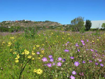 Sedgefield wild flowers